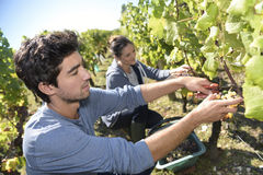 Harvest season in vineyards Royalty Free Stock Photography