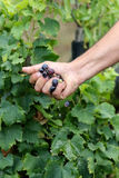 Harvest. The September harvest in Sicily Stock Photos