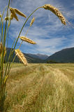 After the harvest. A sheaf of triticale overlooks a harvested paddock. Triticale is a hybrid of wheat (Triticum) and rye (Secale)  typically grown for stock feed Stock Photography