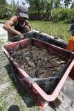 Harvest shrimp Stock Photo