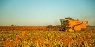 Harvest sorghum planting field. Plantation sunset beautiful stock photos