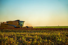 Harvest sorghum planting field. Plantation sunset beautiful royalty free stock image