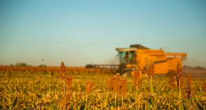 Harvest sorghum planting field. Plantation sunset beautiful royalty free stock photo