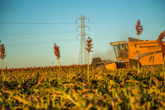 Harvest sorghum planting field. Plantation sunset beautiful stock image