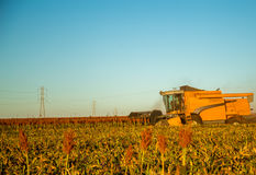 Harvest sorghum planting field. Plantation sunset beautiful royalty free stock photos
