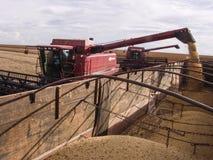 Harvest soybean Stock Image
