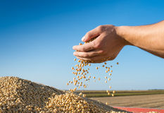 Harvest  soybeans Stock Images
