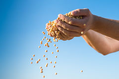 Harvest  soybeans Royalty Free Stock Photography