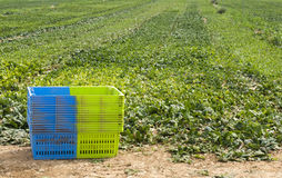 Harvest Spinach in plantation Stock Photo