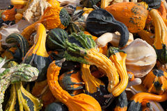 The Harvest of Squashes Royalty Free Stock Photo