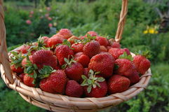 Harvest of the strawberries Stock Photo