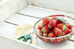 Harvest of strawberries Royalty Free Stock Photo