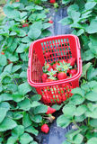 Harvest strawberry Royalty Free Stock Images