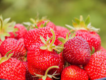 The harvest of the strawberry. Lots of red berries. Blurred green background Royalty Free Stock Images