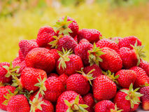 The harvest of the strawberry. Lots of red berries. Blurred green and yellow background Royalty Free Stock Photography