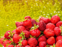The harvest of the strawberry. Lots of red berries. Blurred green and yellow background Royalty Free Stock Photo