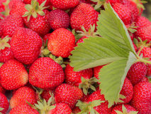 The harvest of the strawberry. Lots of red berries. Green leaves Stock Photo