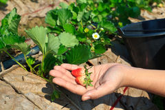 Harvest strawberry Stock Photos