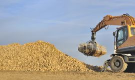 Harvest sugar beets Royalty Free Stock Image
