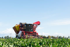 Harvest of Sugar beets Stock Photos