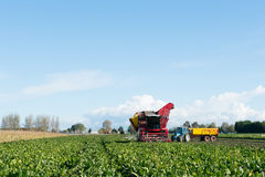 Harvest of Sugar beets Stock Photo