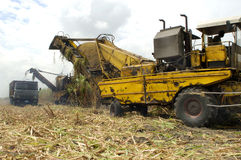 Harvest of sugar cane Stock Images