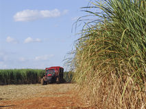 Harvest Sugar Cane Royalty Free Stock Photography