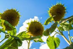Harvest sunflower against the sky. Bottom view Stock Image