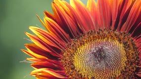 Harvest Sunflower. Harvest colored Sunflower blooming in summer Stock Image