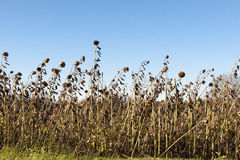 Harvest of the sunflowers Stock Photography
