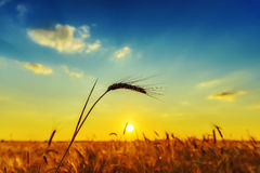 Harvest in sunset over field Royalty Free Stock Photo