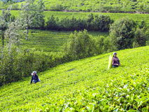Harvest in the tea fields, tea Stock Images