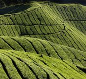 Harvest of tea-leaves royalty free stock image