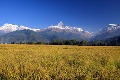 Harvest,Terrace Rice Paddy Field Stock Images