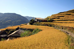 Harvest,Terrace Rice Paddy Field Royalty Free Stock Photography
