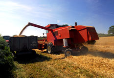 Harvest time. In an English wheat field Stock Photography