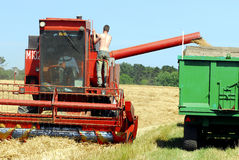 Harvest time. In an English wheat field Stock Photos