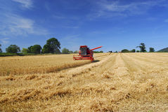 Harvest time. In an English wheat field Royalty Free Stock Photography