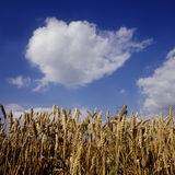 Harvest time. Field of wheat and blue sky Stock Images