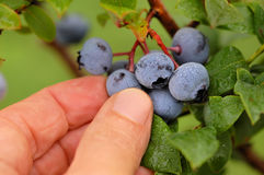 Harvest Time. A hand reaches to pick a ripe blueberry from a bush. the blueberries and leaves are covered with dew Stock Photo