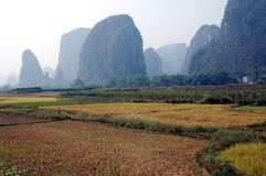 Harvest time. Padi ready for harvest in China Royalty Free Stock Image