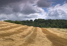 Harvest Time. Freshly cut barley field royalty free stock image