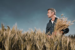 Harvest time. Mature farmer looking with satisfaction at his cultivated field with a bunch of ripe wheat after a working day under a dramatic sky Royalty Free Stock Images