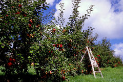 Harvest time at the apple orchard Stock Images