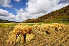 Harvest time in autumn season in Bashang grassland of Hebei province Stock Image