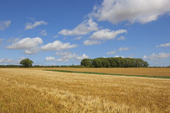 Harvest time barley crop Royalty Free Stock Photography