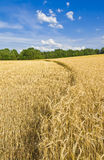 Harvest time. Barley field. Moscow region. Russia Royalty Free Stock Image