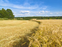 Harvest time. Barley field. Moscow region. Russia Stock Photo
