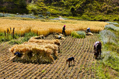 Harvest time in Bashang grassland Royalty Free Stock Images