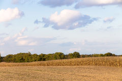 Harvest Time Coming for Corn Royalty Free Stock Photos